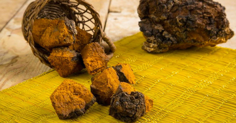 The Untold Story of a Silent Superpower: Chaga Mushrooms